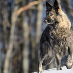 La Légende du Loup Noir