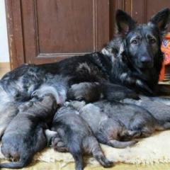 Première portée chez La Légende du Loup Noir (naissance d'Olkya)